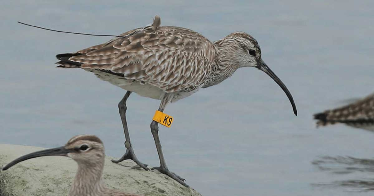 Whimbrel with leg flag and satellite transmitter
