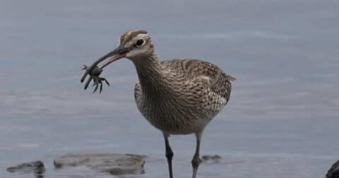 Whimbrel eating crab