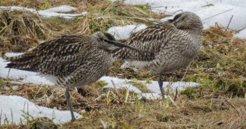 Pair of whimbrels