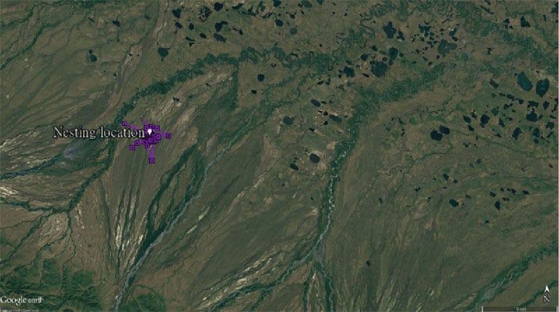 Figure 1b. Movement of KS around nesting location - Week 3: 13 Jun to 19 Jun