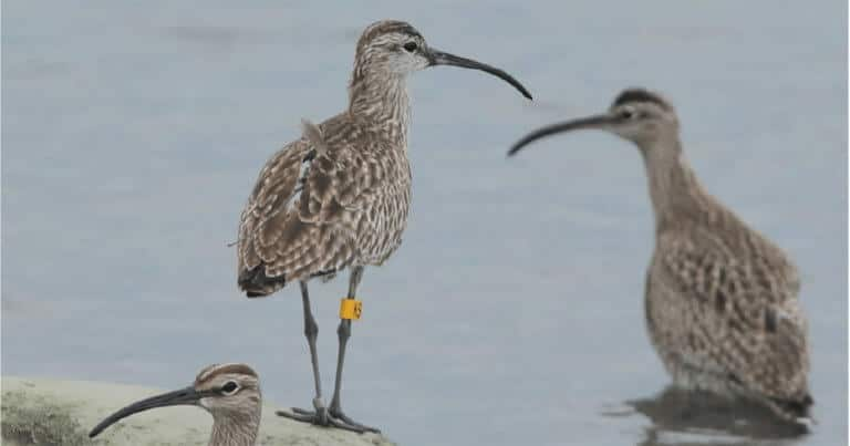 Satellite-tagged whimbrel