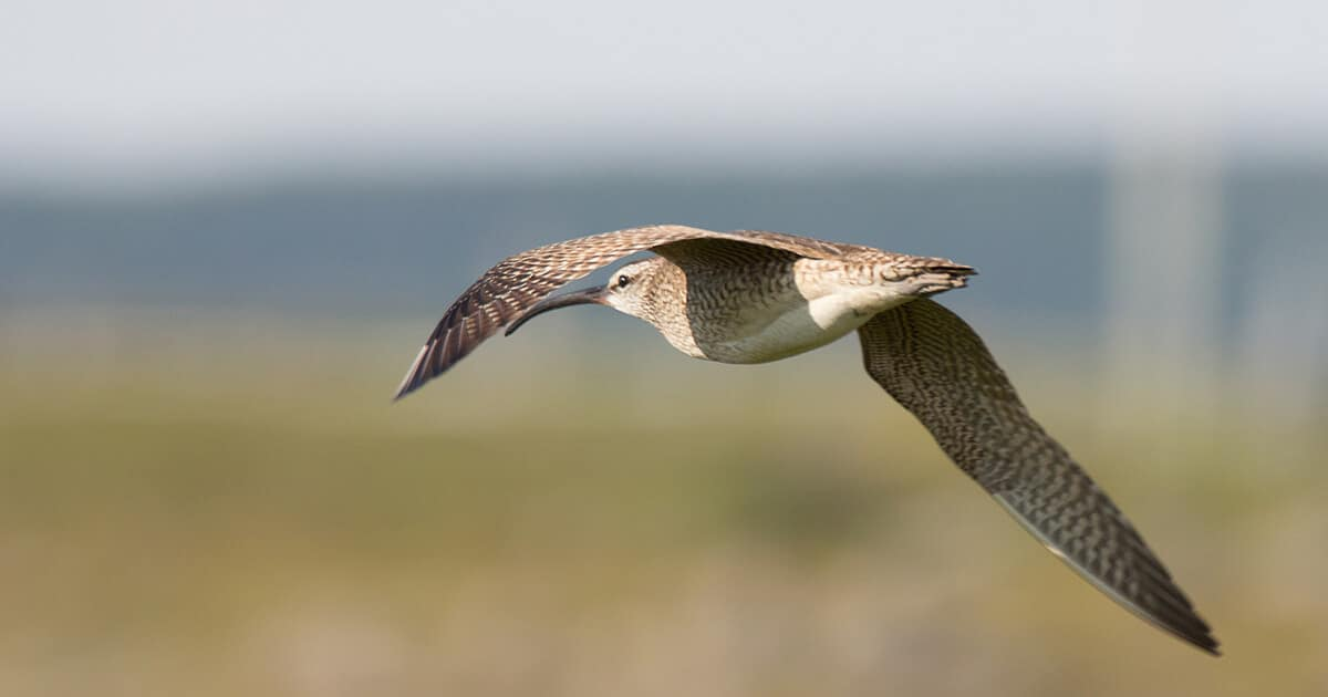 Whimbrel flying