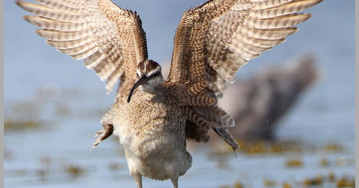 Whimbrel with wings up