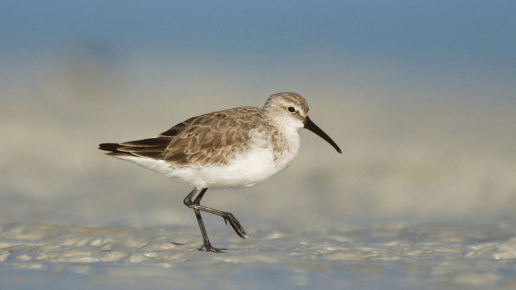 A Curlew sandpiper in grey non-breeding plumage standing on a mudflat