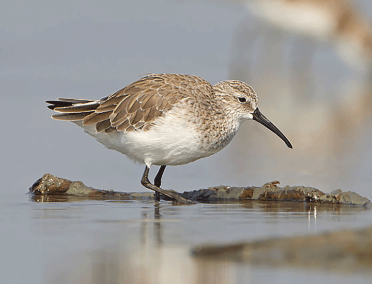 A Curlew Sandpiper in grey non-breeding plumage feeding in shallow water