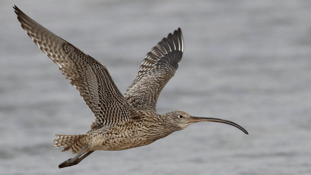 An Eastern Curlew in flight over water