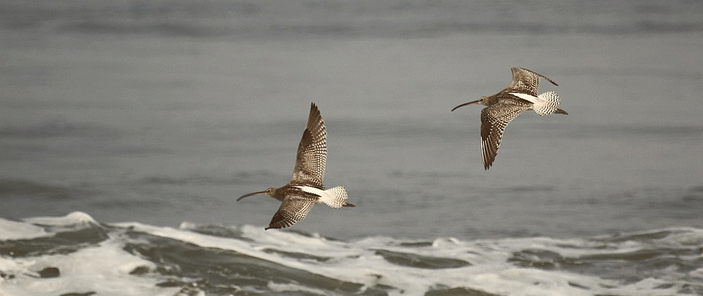 Two Eurasian Curlews in flight showing their white rumps