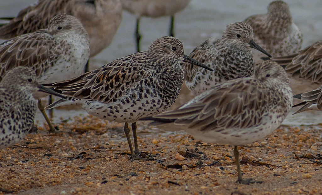 A flock of Great Knots in breeding plumage standing on the beach