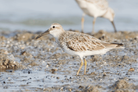 Great Knot - non-breeding plumage