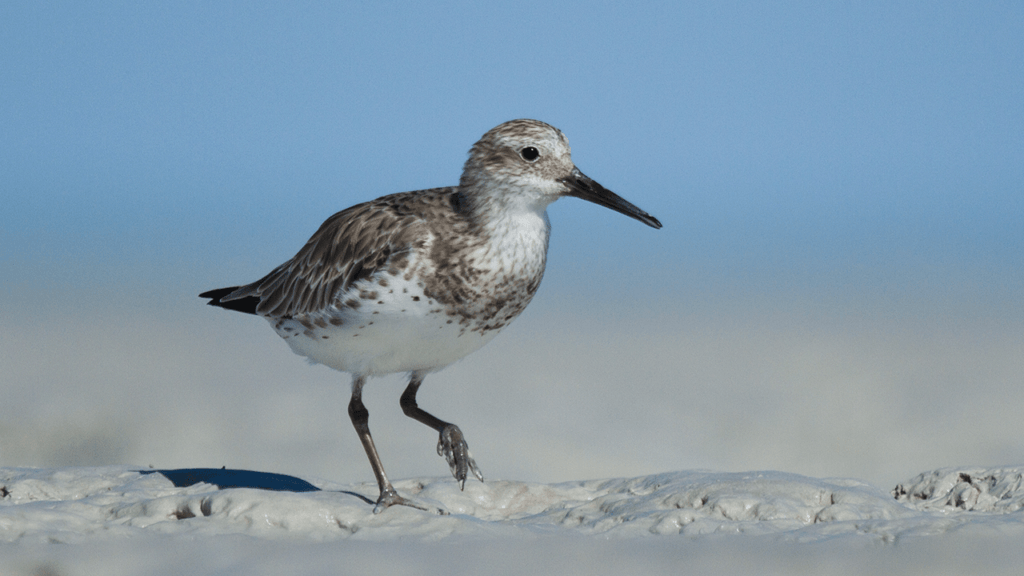 A Great Knot in non-breeding plumage standing on a mudflat