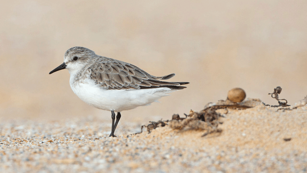 A Red-necked Stint standing on the sand