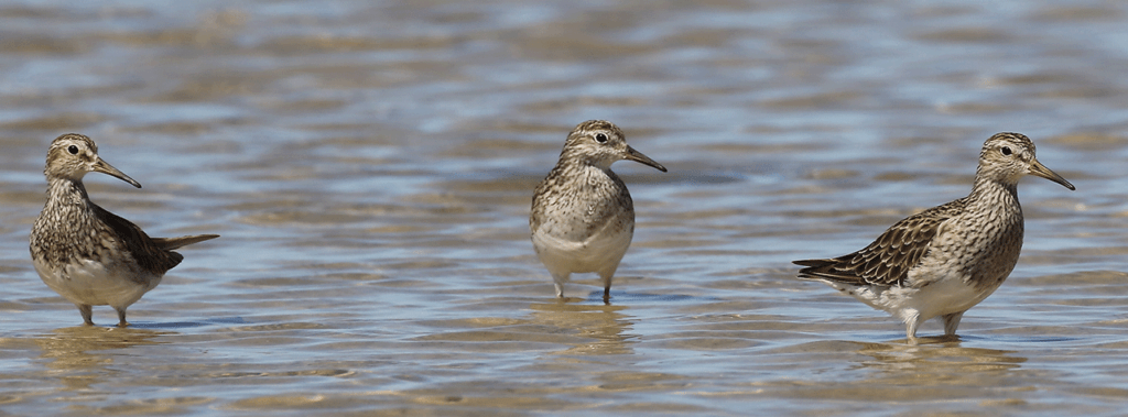Sharpie with two Pectoral Sandpipers