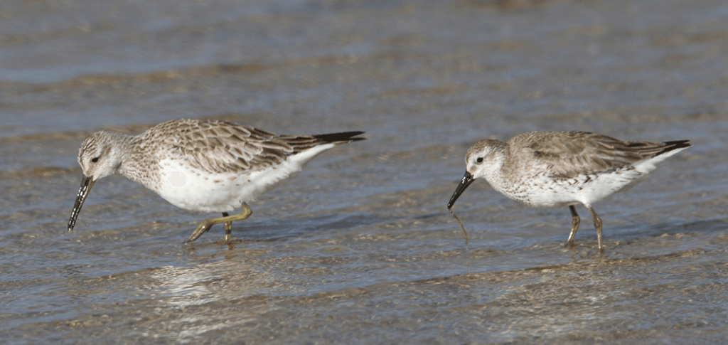 A Great Knot and slight smaller Red Knot feeding alongside each other in shallow water