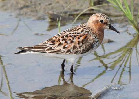 A Red-necked Stint in reddish breeding plumage standing in shallow water