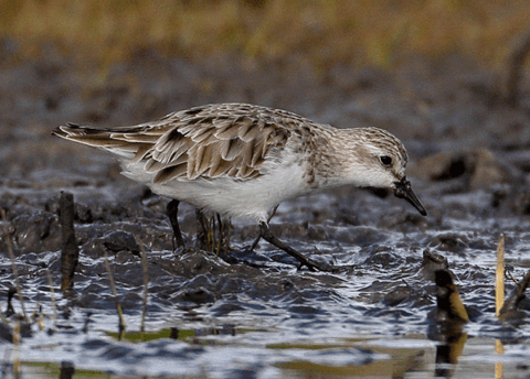 A Red-necked Stint feeding in the mud