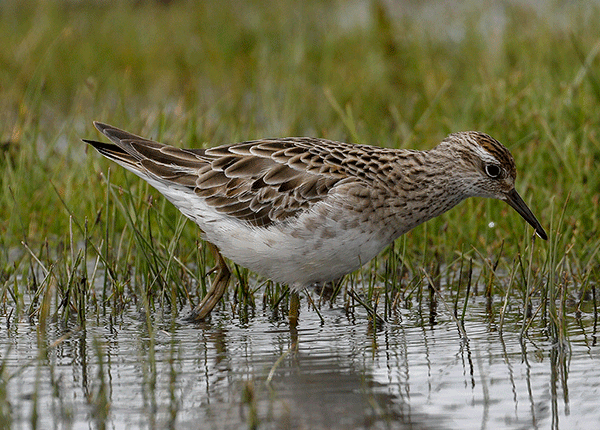 A Sharp-tailed Sandpiper feeding in shallow water with grasses