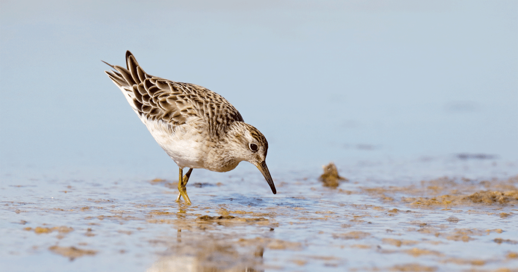 A Sharp-tailed Sandpiper standing in shallow water