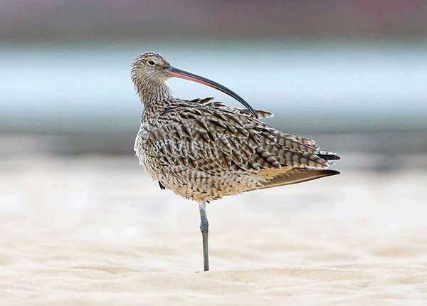 A Far Eastern Curlew preening its tail feather on the beach