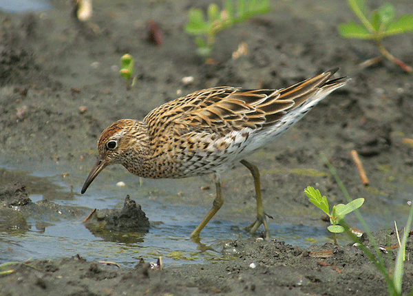 A Sharp-tailed Sandpiper feeding in the mud