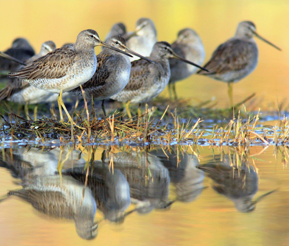 Asian dowitchers