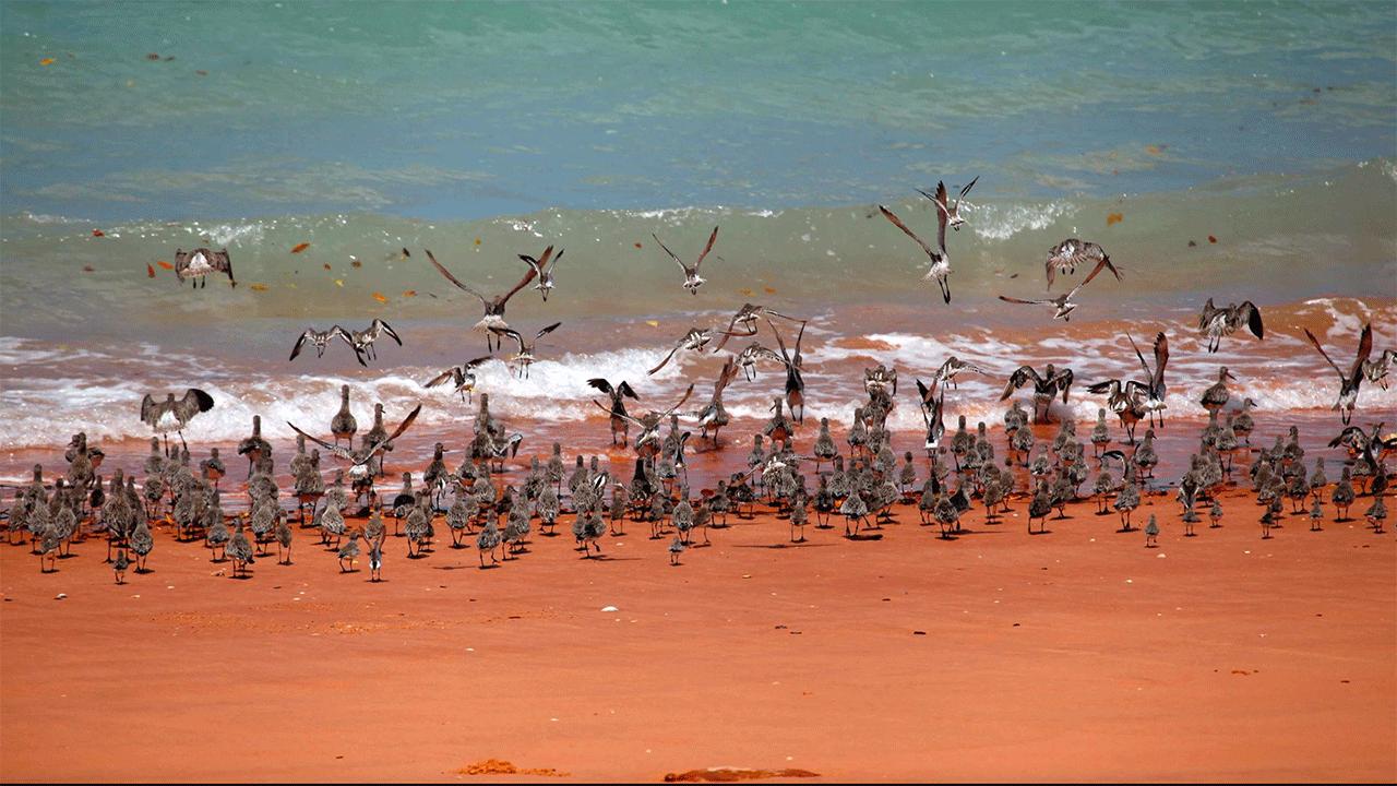 Shorebird flock - Roebuck Bay