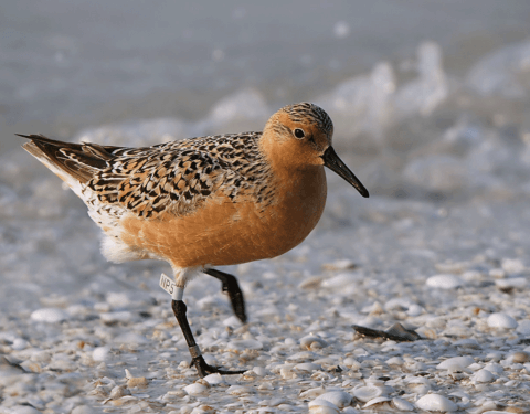 A Red Knot standing on a shelly beach