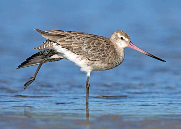 A Bar-tailed Godwit standing in shallow water and stretching its leg and wing