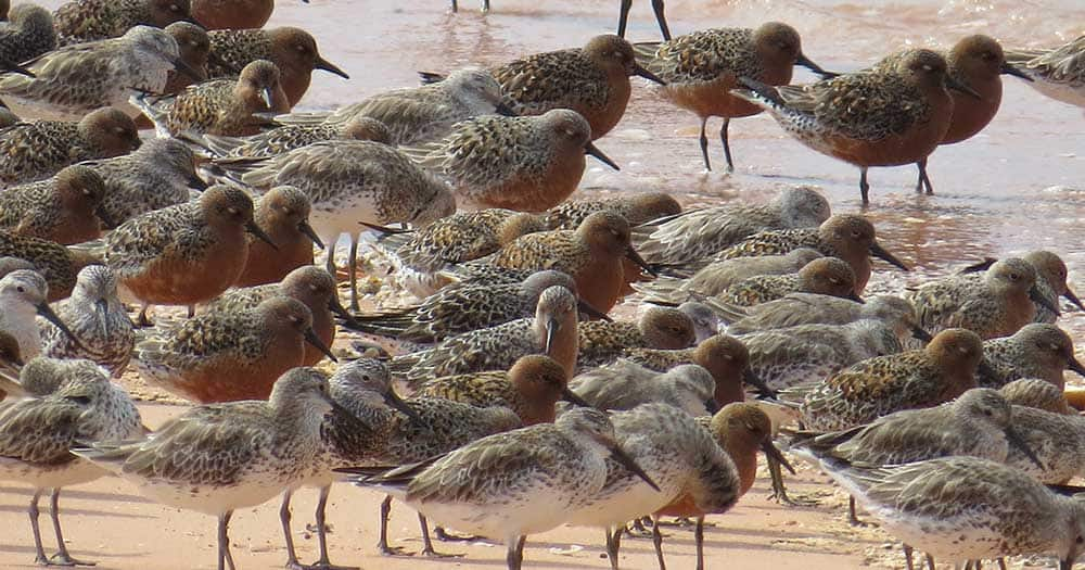 Red knots and great knots