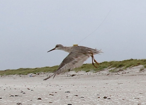 A Grey-tailed Tattler fitted with a satellite tag taking off on the beach