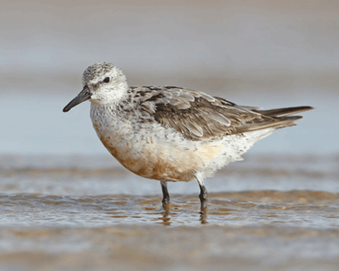 A Red knot in non-breeding plumage standing in shallow water