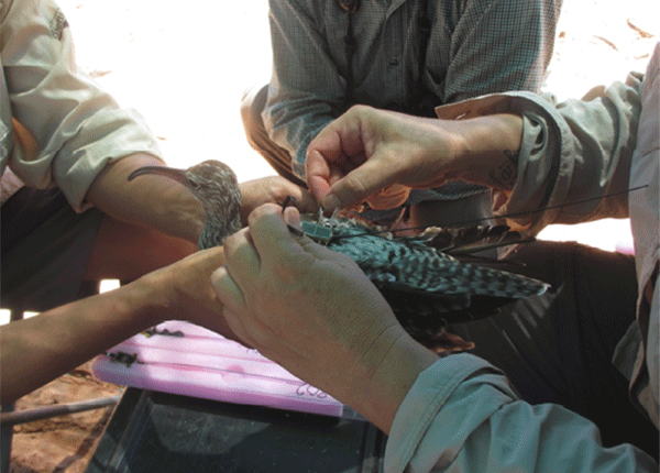 Researchers holding a Whimbrel to fit it with a satellite transmitter