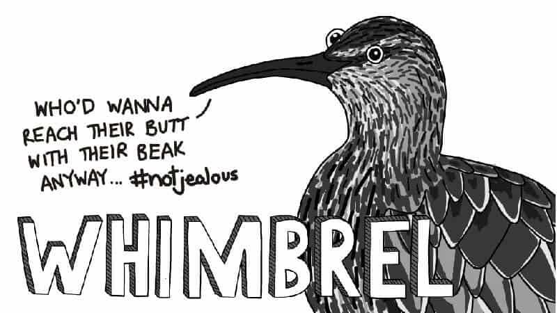 Meet The Shorebirds - Whimbrel