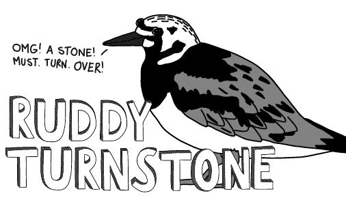 Ruddy Turnstone