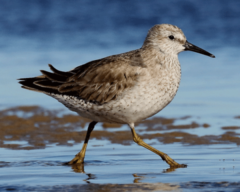 A Red Knot in non-breeding plumage running across the beach