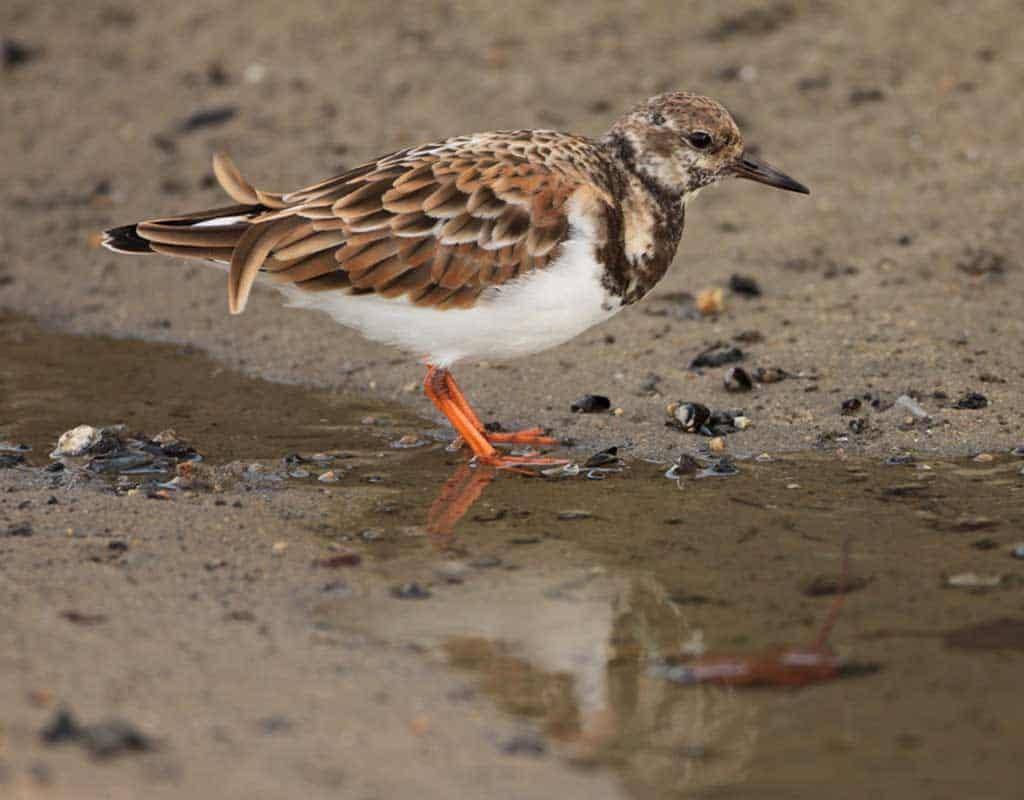 Ruddy turnstone - non-breeding plumage
