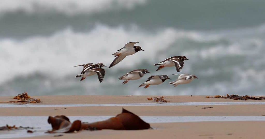 Ruddy Turnstones in flight