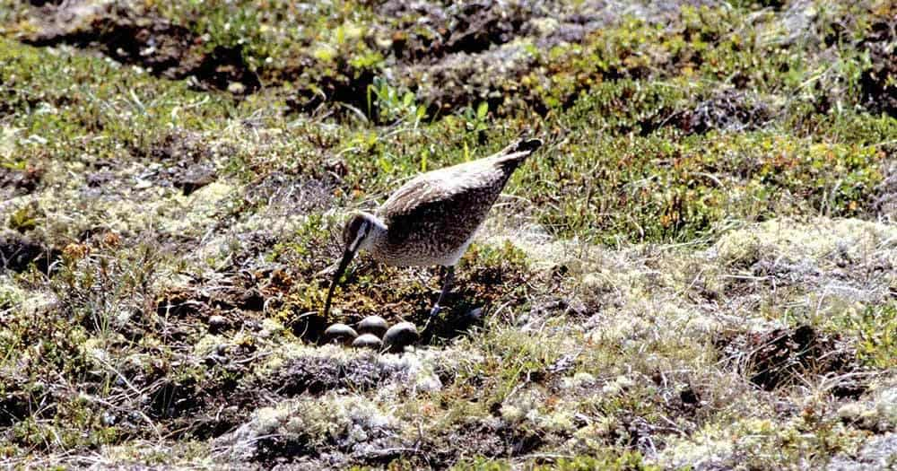 Whimbrel at nest