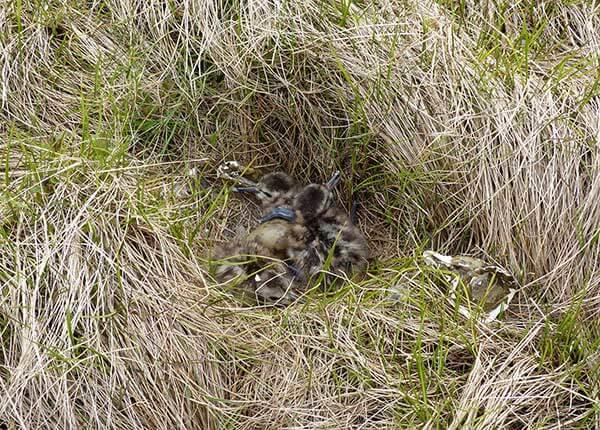 Bar-tailed godwit chicks in nest
