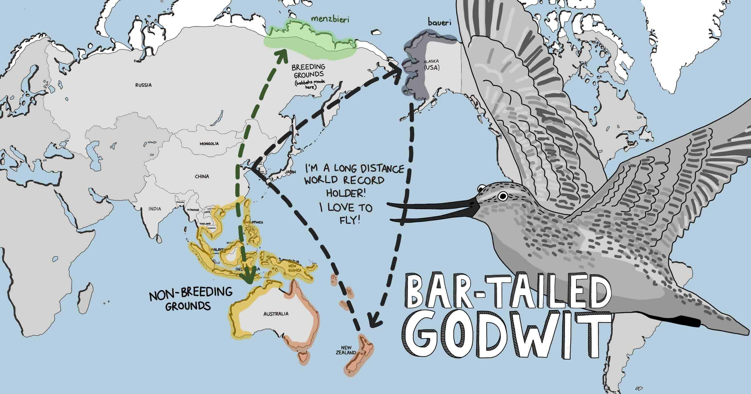 Meet The Shorebirds distribution map - Bar-tailed godwit