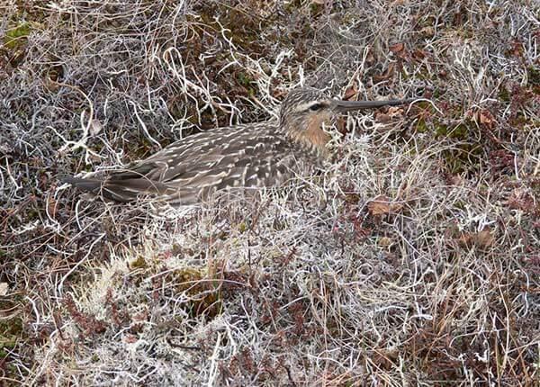 Incubation male bar-tailed godwit