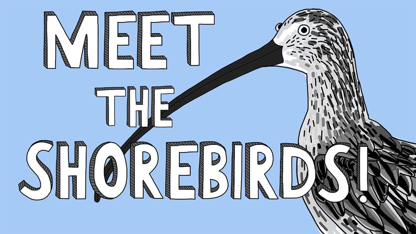 Meet The Shorebirds