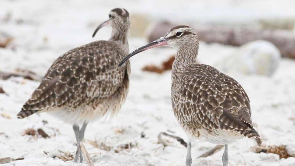 Two whimbrels in the snow