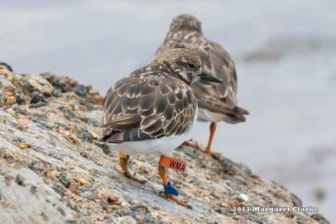 Ruddy Turnstone WMA