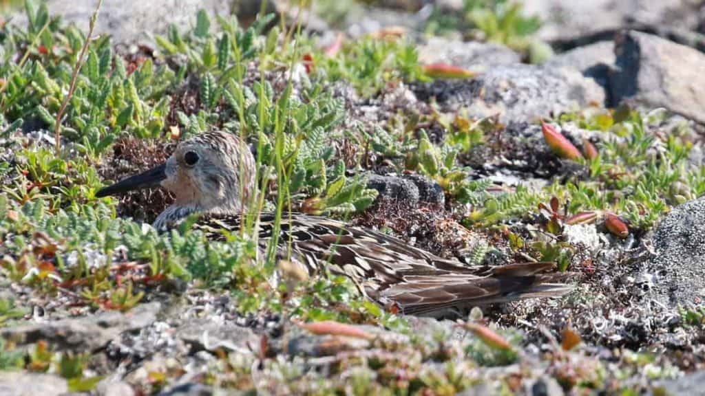 A Red Knot sitting camouflaged amongst the moss and grass as it sits on a nest on the ground