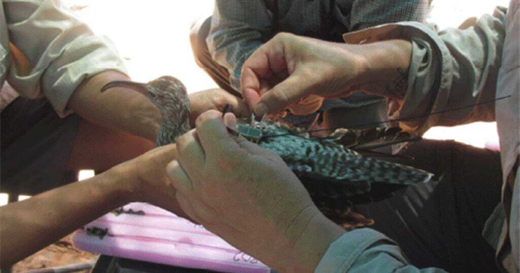 Whimbrel KU being fitted with satellite transmitter