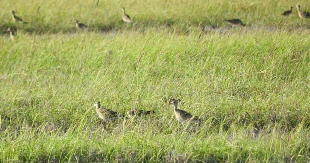 Little Curlew at Anna Plains