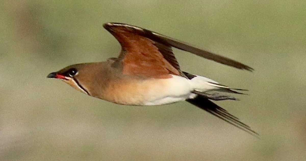 Oriental Pratincole in flight