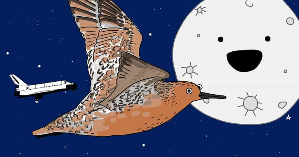 Red Knot flying to the moon