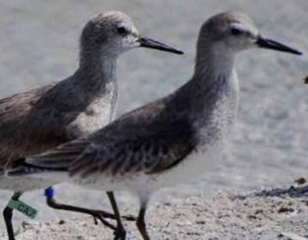Skinny Red Knot