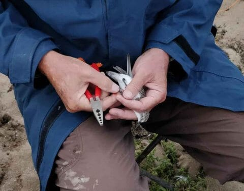 Banding a red-necked stint